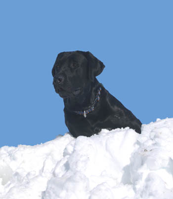 Black Lab on a 6-foot snow drift in Colorado
