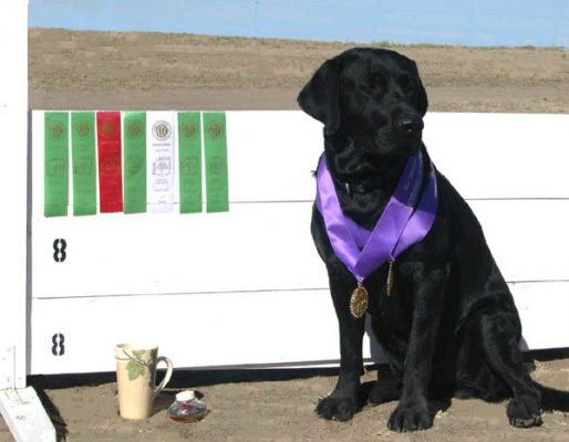 Labrador wins Obedience and Rally awards