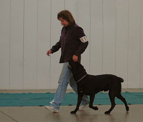 Black Lab competing in Rally obedience