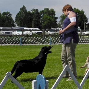 Black Lab at a dog show