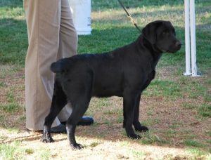 Labrador puppy competing in a dog show