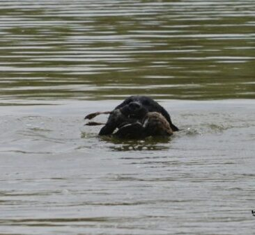 Returning with her duck - mission accomplished!