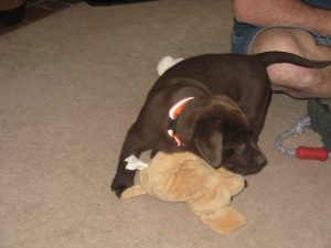 Chocolate Lab puppy snuggles his toy