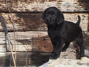 7 week old black Lab puppy
