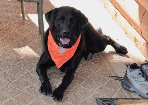 Black Labrador models a bright red bandanna