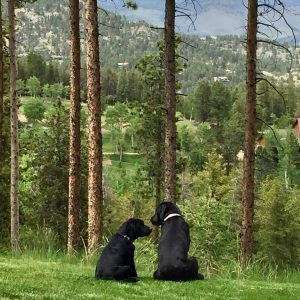 Two English style black Labrador Retrievers
