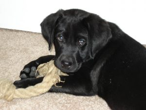 Black Lab puppy chewing on a toy