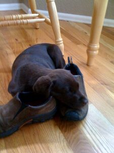 Chocolate Labrador puppy sleeps on her owner's shoes