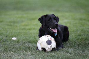 Labrador Retriever ready to join the soccer game