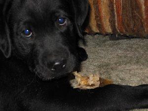 Cute black Labrador Retriever puppy