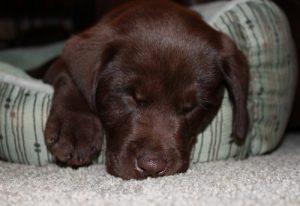 Sleepy chocolate Lab puppy