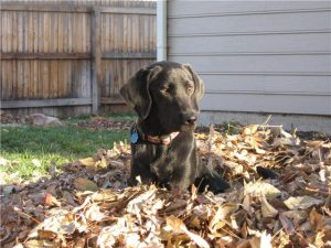 Black Labrador in a pile of leaves