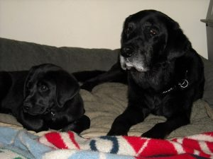 Black Lab puppy with his buddy, Max