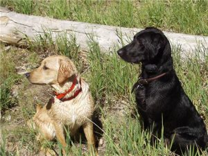 A yellow and a black Lab ready for training