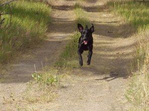 Black Labrador Retriever jumps for joy