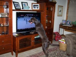 Chocolate Lab loves to watch hockey