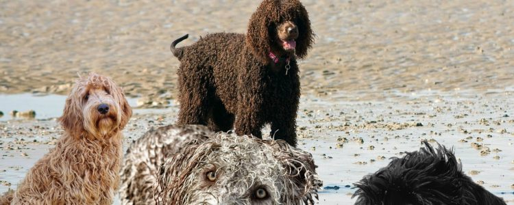 LabraDoodle - a mixed breed dog, part Lab and part Poodle