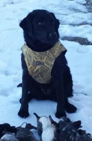 Black Labrador waiting for more birds to retrieve