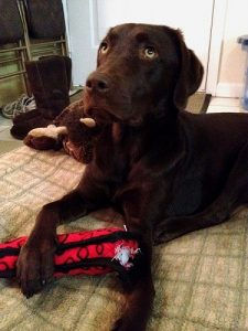 Chocolate Lab playing with his favorite toy