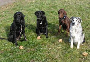 Birthday celebration for a chocolate Labrador Retriever