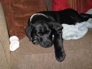 Sleeping black Labrador puppy