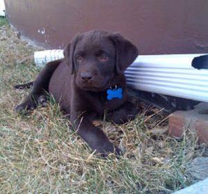 Labrador Retriever puppy in chocolate