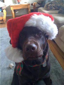 Chocolate Labrador Retriever in a Santa hat