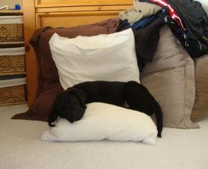Black Lab puppy snuggles into the laundry