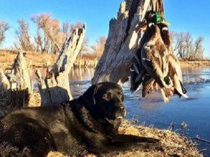 Black Labrador Retriever and the ducks he retrieved