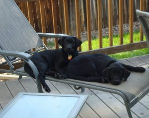 Lab puppies find a comfortable spot to relax