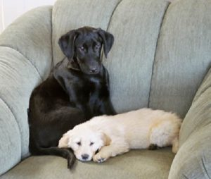 Black Labrador Retriever getting comfortable