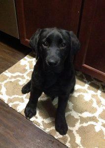 Sweet black Lab puppy