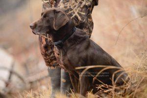 A chocolate Labrador waits patiently to retrieve the next bird