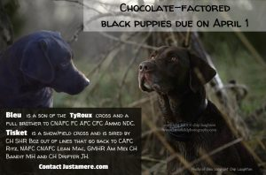 Chocolate-factored black puppies sired by Bayou Magic's Rouxster Bleu MH QA2 and out of SHR Justamere Tisket A Tasket RN CC