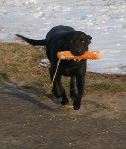 She loves retrieving birds or bumpers