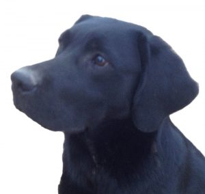 """Justamere Super Soaker """"Splash"""" born in 2017 and who looks very much like a classic Lab born almost 100 years before"""