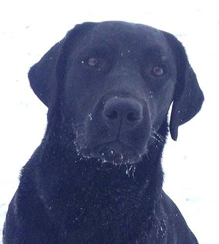 Classic black Labrador head