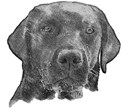 Sketch - Dual-Purpose Labrador