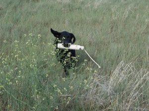 Young Labrador practicing retrieving