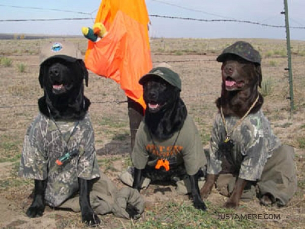Labradors dress up as duck hunters of Halloween