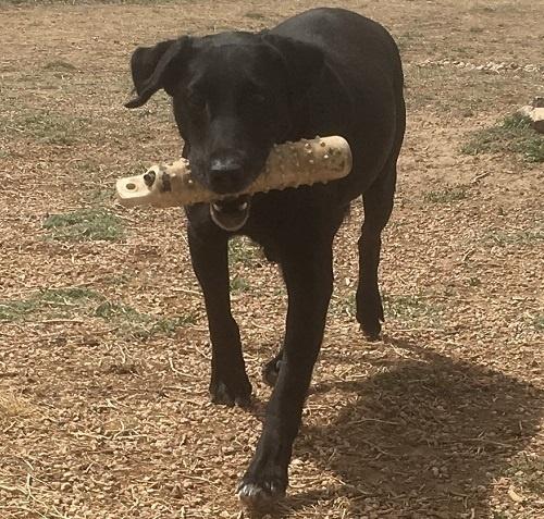 Black Lab puppy retrieving a bumper
