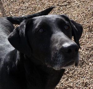 Black field-bred Labrador