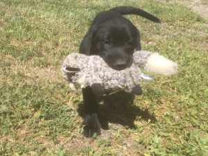 Labrador puppy retrieving a fake bird