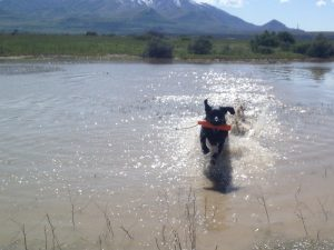 Splash, a black Lab, practicing a water retrieve